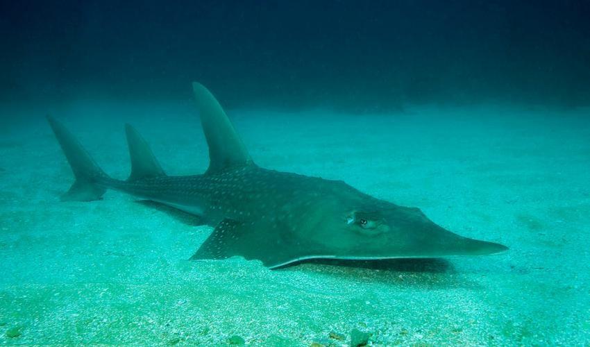 國際自然保育聯盟18日將龍紋鱝(圖)等超過7000種動物、魚類和植物列入瀕危物種「紅色名錄」。(圖取自網頁國際自然保育聯盟www.iucn.org)