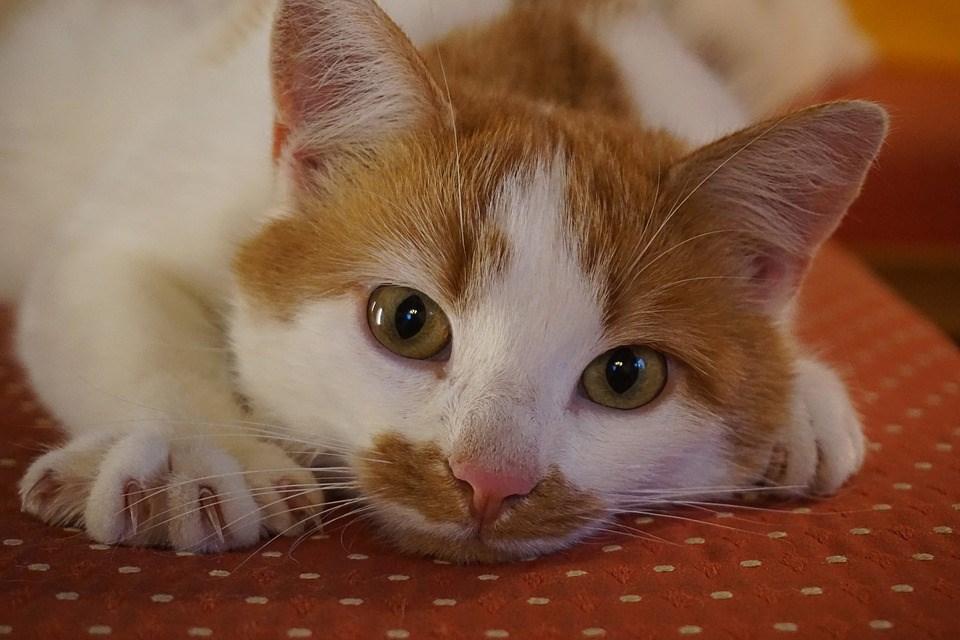 美國紐約州長古莫22日簽署禁以美容為由為貓除爪的法案,讓這項禁令立即生效,受到愛貓人士的讚揚。(圖取自Pixabay圖庫)