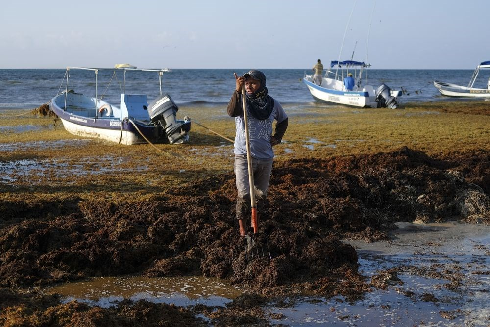馬尾藻近年快速繁殖,攻陷墨西哥到美國佛州的海灘,逼得觀光當局得大費周章出動器具清理。(美聯社)