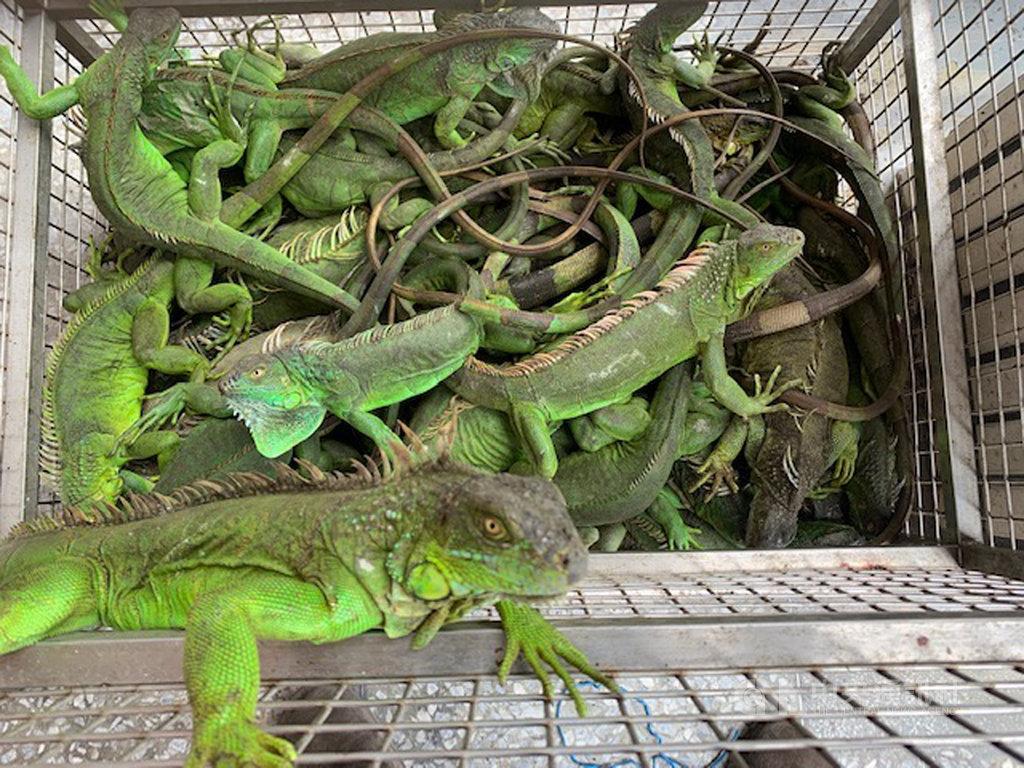 美洲綠鬣蜥是原產於中南美洲的陸域爬蟲類動物,屬於大型蜥蜴,台灣部分地區因民眾棄養美洲綠鬣蜥而造成生態環境危害,林務局16日表示,將預告納管美洲綠鬣蜥,飼主若要飼養必須向當地主管機關登記備查,且不得任意繁殖。(林務局提供)中央社記者吳欣紜傳真  108年8月16日