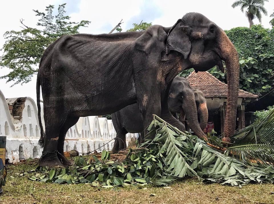 斯里蘭卡近日舉行連續10天佛教慶典,一頭高齡70歲母象每天都要載人遊行長達數小時,這頭母象脫下華麗袍子後的樣貌,竟是骨瘦如柴疑似營養不良。(圖取自facebook.com/SaveElephantFoundation)