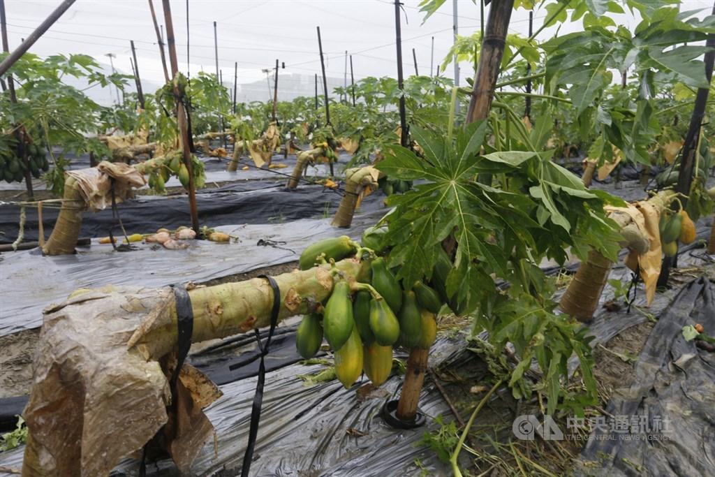 農委會指出,12日起受豪雨影響造成的農業災情,截至20日傍晚5時止,農業產物及民間設施估計損失新台幣1億404萬元,前5大受損作物都是水果,主要是木瓜。圖為高雄木瓜災損。(中央社檔案照片)