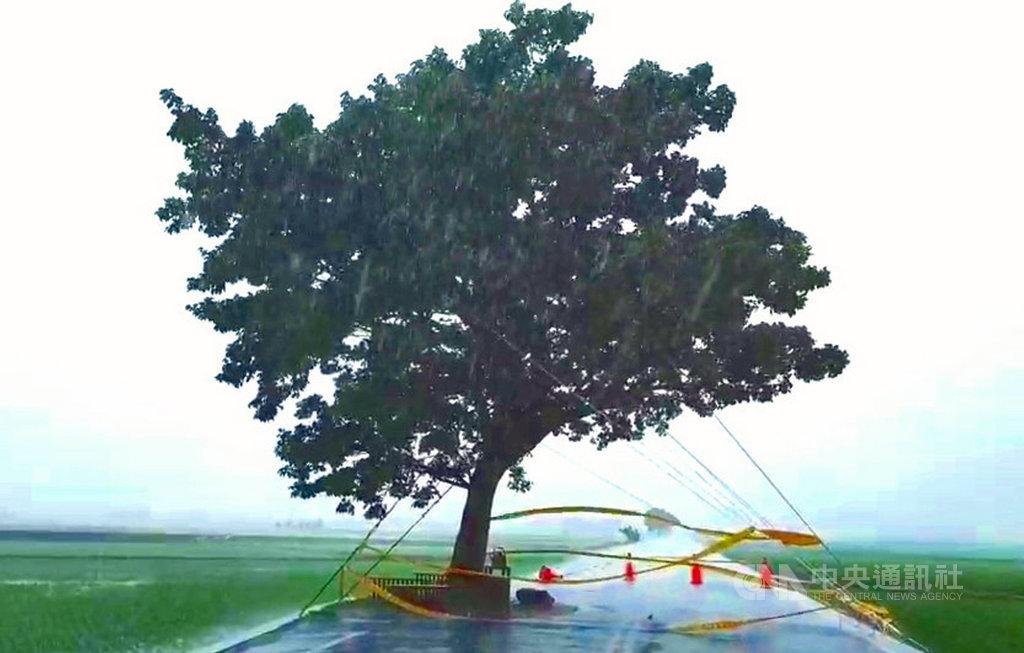 颱風白鹿暴風圈24日上午接觸台東,池上鄉公所利用鋼索將伯朗大道上的「金城武樹」固定,全面抗風防颱。(許金興提供)中央社記者盧太城台東傳真 108年8月24日