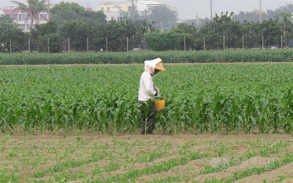 勞動部27日表示,已合格領取老農津貼的農民,只要繼續符合核發規定,並不會因退出農保,就影響領取老農津貼的資格。(中央社檔案照片)
