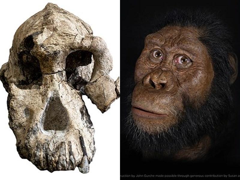 名為MRD的頭顱屬於湖畔南方古猿種,具有現代猿和人類的混合特徵,被認為是現代人古老直系祖先。左圖為湖畔南方古猿的頭骨化石,右圖為湖畔南方古猿。(圖取自美國克里夫蘭自然歷史博物館網頁cmnh.org/mrd)