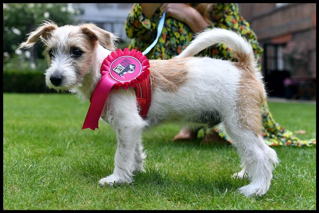 英相強生為英國第一貓賴瑞帶來新朋友,是一隻名叫迪靈的小狗(圖),未來牠們將一同住在唐寧街10號。(圖取自twitter.com/carriesymonds)