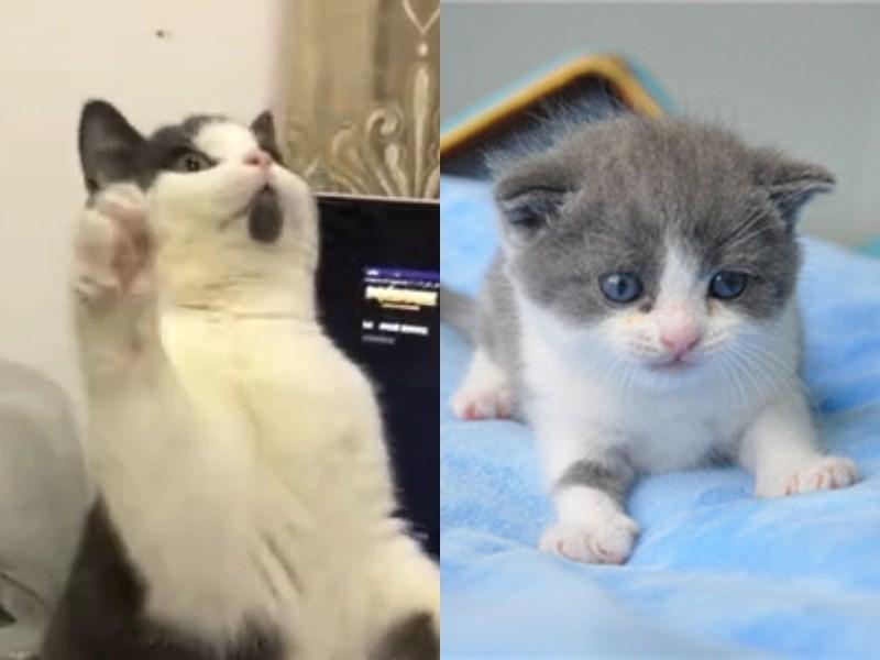 中國首隻複製貓「大蒜」(右)在今年7月問世,外型和本尊(左)差異僅是少了下巴上的黑塊。(左圖片取自紅星新聞微博weibo.com、右圖取自北京希諾谷生物科技有限公司網頁sinogene.com.cn)
