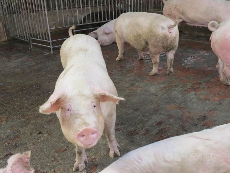 農委會防檢局11日透過臉書及Line群組澄清,近日有人在網路論壇稱南部爆發豬瘟導致豬價大漲,這是不實消息。(示意圖/中央社檔案照片)