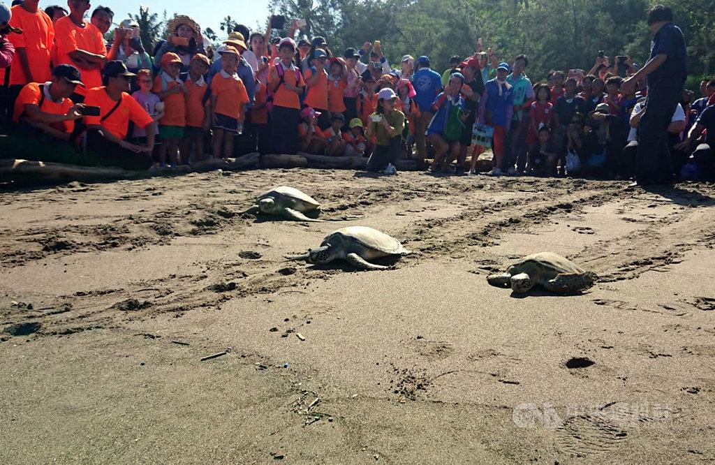 中秋前夕,台東杉原海邊12日有一場稀有海龜野放回大海活動,5隻海龜奮力奔向大海,小朋友在一旁為牠們加油打氣希望他們能趕在中秋節和家人團圓。(照片民眾提供)中央社記者盧太城台東傳真 108年9月12日