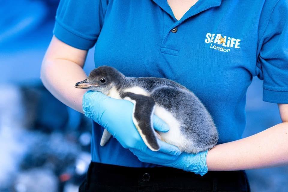 倫敦海洋生物水族館11日表示,館內兩隻雌企鵝開始扶養第一隻「性別中性」企鵝寶寶(圖)。(圖取自facebook.com/SEALIFELondonAquarium)