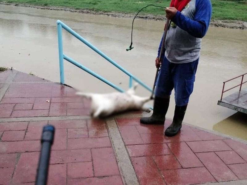 菲律賓大馬尼拉區東部與黎薩省交界的馬利吉娜河和附近一條溪近日發現有數十頭死豬漂流。(圖取自twitter.com/manilabulletin)