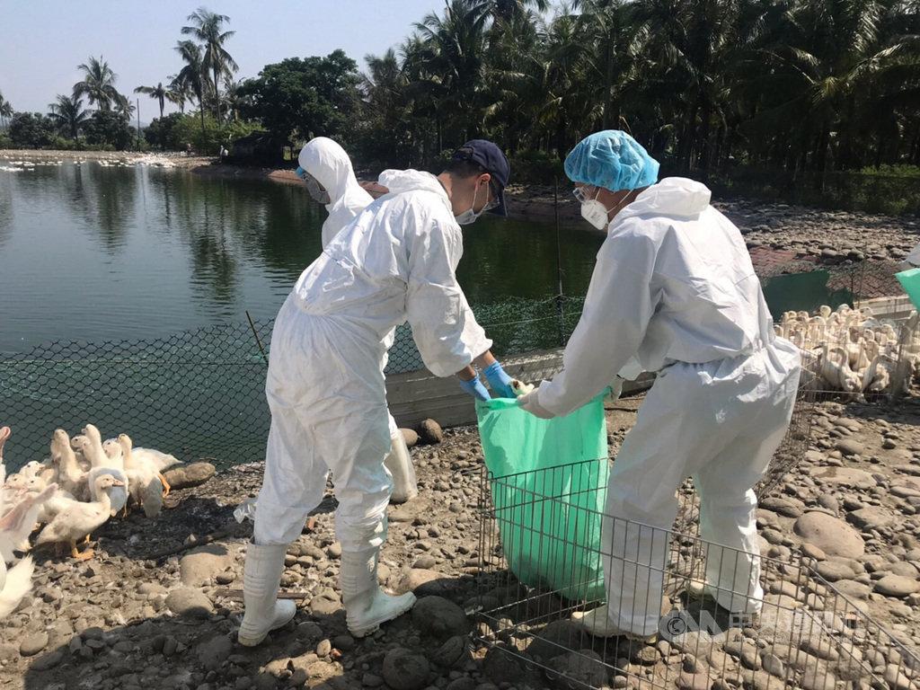 高雄市旗山區一處鴨場確診感染H5N5高病原性禽流感,高雄市農業局16日指出,日前確診後已全數撲殺完畢,也對周邊進行消毒。(高市府提供)中央社記者王淑芬傳真 108年9月16日