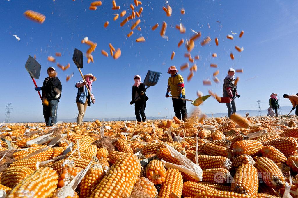 非洲豬瘟疫情讓中國生豬數量下降40%,作為飼料的玉米也跟著供過於求。此外,正在進行的中美貿易談判,可能讓中國政府取消對玉米產業的保護。圖為2018年10月,甘肅農民在收成季節晾曬玉米。(中新社提供)中央社  108年9月17日