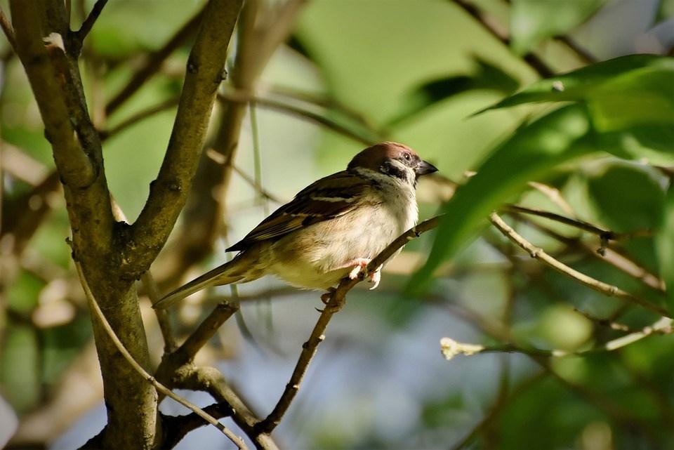 科學家說,美國與加拿大的鳥類數量驟降,數量流失的鳥類有超過90%屬於12個物種,包括麻雀(圖)、鶯、黑鳥與雀類。(圖取自Pixabay圖庫)