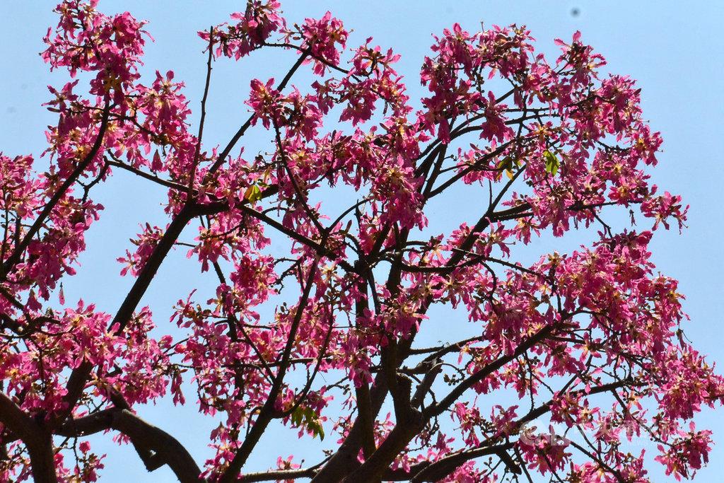 新北市板橋區八德公園入口處的一棵美人樹醒目耀眼,粉紅色大型花朵掛滿樹冠,奼紫嫣紅,襯托在藍天下展現浪漫氣息。中央社記者黃旭昇新北攝 108年10月12日