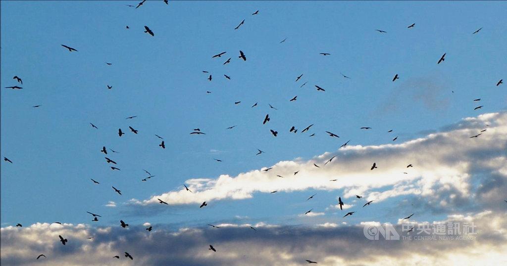 10月進入灰面鵟鷹過境墾丁的季節,在屏東滿州鄉可觀賞到灰面鵟鷹在天空盤旋的壯闊景觀,並以鷹海、鷹柱方式盤旋而下在森林棲息。(蔡乙榮提供)中央社記者郭芷瑄傳真 108年10月12日