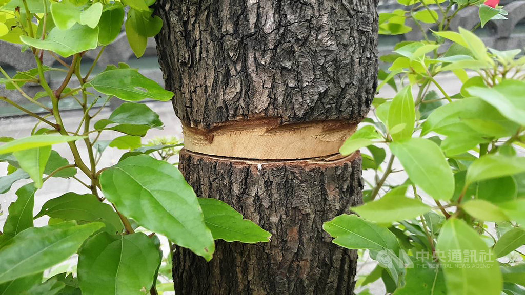 基隆市政府9月初陸續發現種植在田寮河畔信一路和仁一路上的行道樹遭人砍伐,有些行道樹被攔腰砍斷,有些行道樹則從中間鋸過後,再把周遭樹皮環狀剝除,經統計已有15棵樹受損。中央社記者王朝鈺攝 108年10月15日