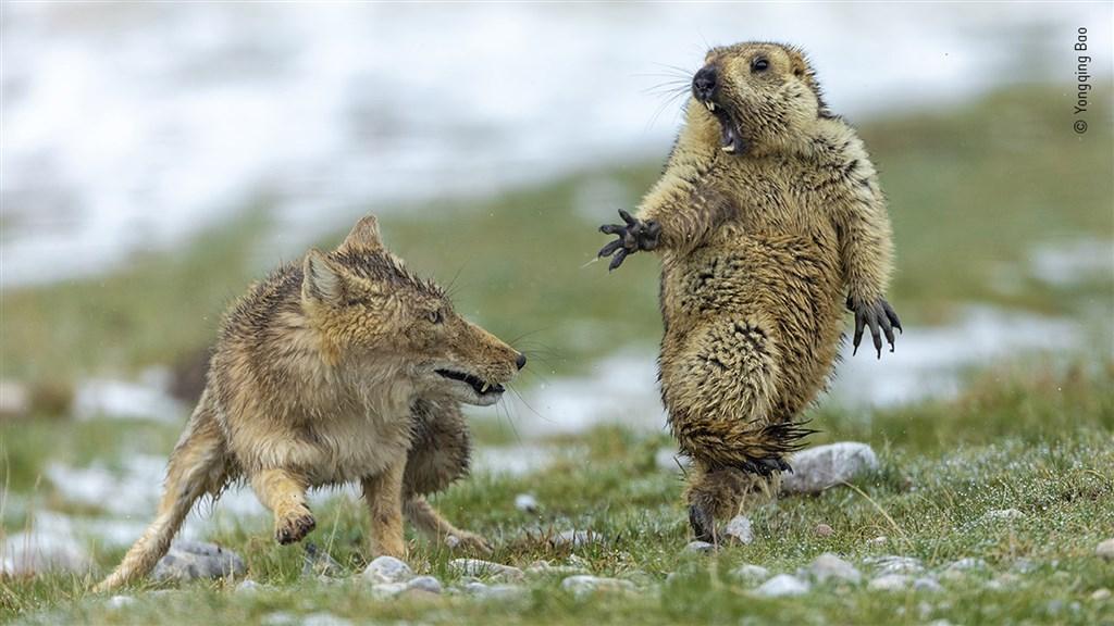 中國攝影師鮑永清捕捉一隻土撥鼠在躲避狐狸獵捕時,驚恐張大嘴巴的瞬間,奪下2019年野生動物攝影師大賽首獎。(圖取自自然史博物館網頁nhm.ac.uk)