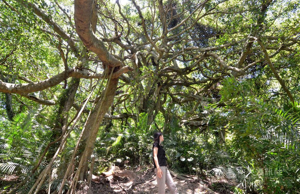 台東縣政府舉辦2019年台東10大打卡景點,池上鄉伯朗大道獲得首選,鸞山森林博物館也入選。圖為森林博物館景點之一會走路的樹。中央社記者盧太城台東攝  108年10月24日