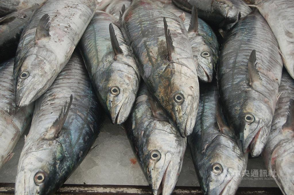 「土魠魚」是澎湖冬季的主要漁獲,澎湖10家知名餐廳4日進行PK,大廚大秀廚藝,端出10道創意料理,各具特色,讓土魠魚美味更飄香。中央社 108年11月4日