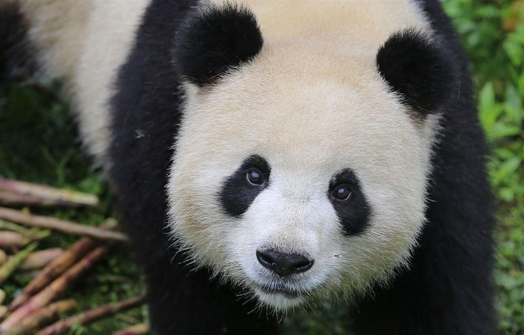 貓熊曾是柏林兩座動物園「軍備大賽」的要角。(圖取自柏林動物園網頁www.zoo-berlin.de/de)