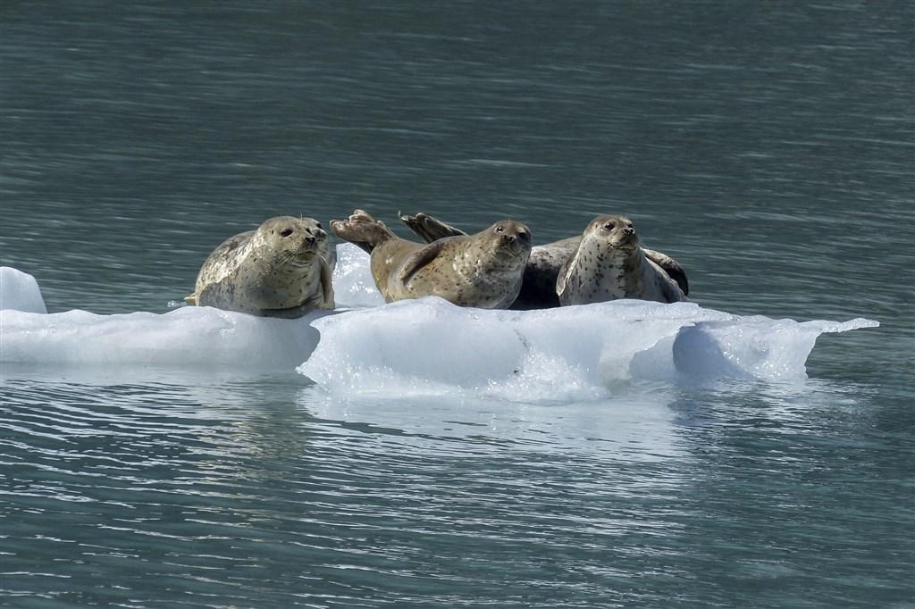 科學家警告,北極海冰減少可能導致動物暴露於新的致命疾病。(示意圖/圖取自Pixabay圖庫)