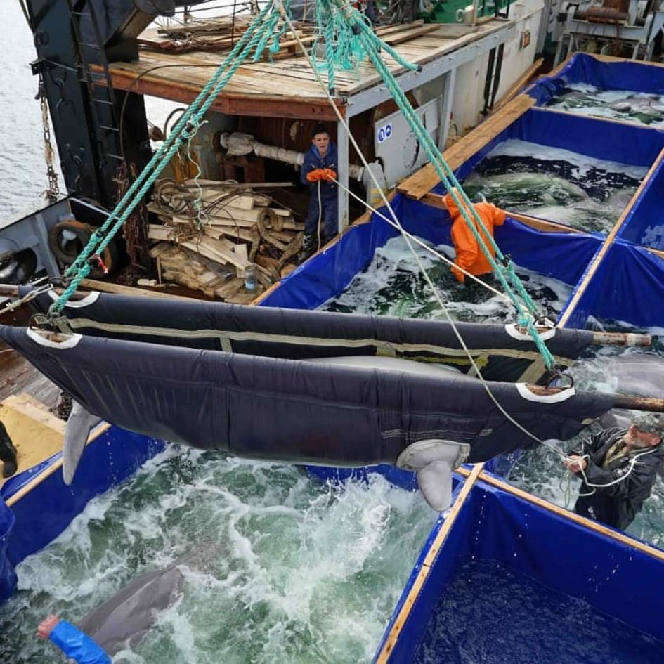 俄羅斯惡名昭彰的「鯨魚監獄」10日放生所關的最後一批白鯨。(圖取自facebook.com/whalesanctuaryproject)