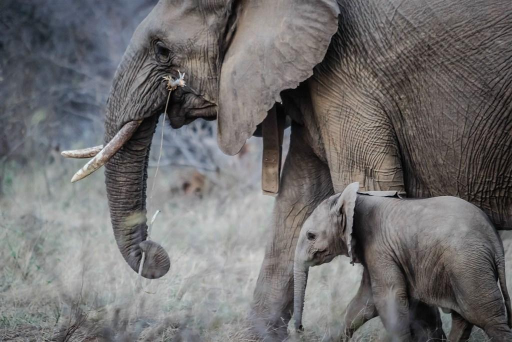 辛巴威在過去2個月歷經史上最嚴重旱災之一,目前至少有120頭大象死亡。辛巴威野生動物管理相關單位11日表示,將遷移數百頭大象及其他野生動物,避免牠們死於乾旱。(示意圖/圖取自Pixabay圖庫)