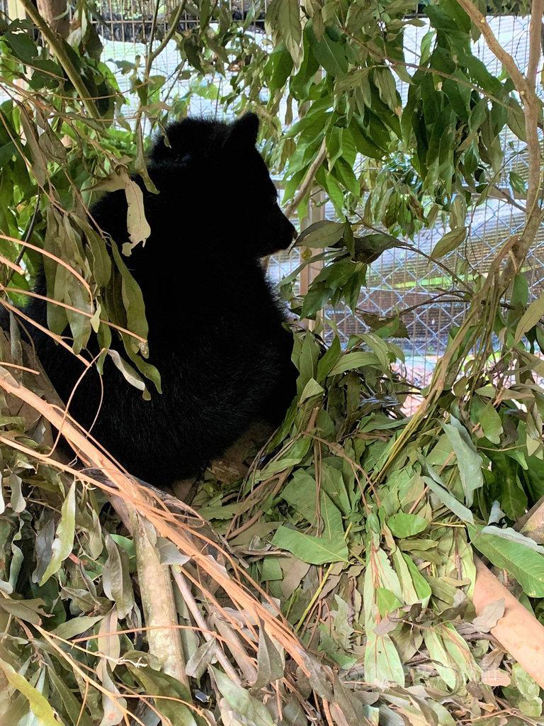 台東林管處照養的熊妹妹Mulas已會編織巢窩,彎曲枝條、層層交疊,十分舒適。照養員11日上午發現Mulas賴床。(台東林管處提供)中央社記者盧太城台東傳真  108年11月13日