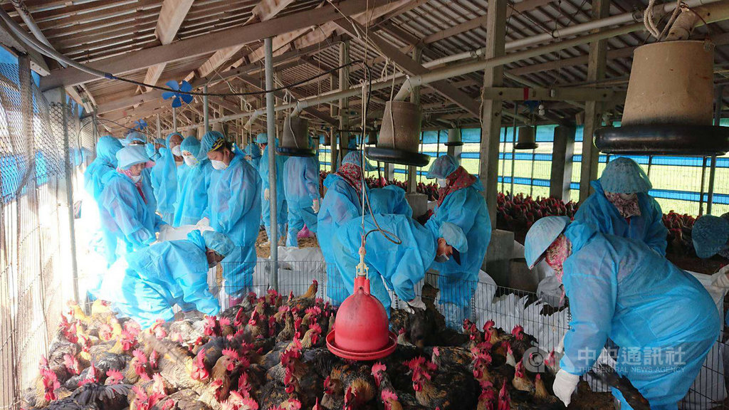 雲林縣褒忠鄉一處養雞場確診感染高病原性禽流感,雲林縣動植物防疫所獲報後隨即依標準作業程序執行清場,共撲殺1萬3220隻雞。(雲林縣政府提供)中央社記者蔡智明傳真 108年11月17日
