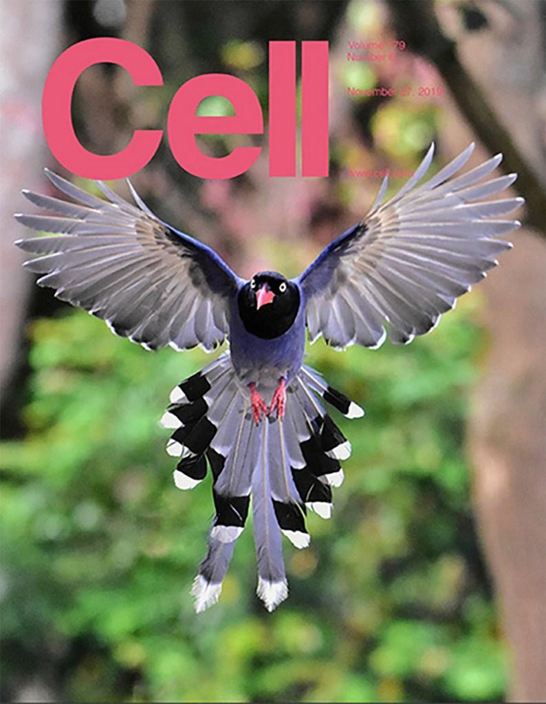 中國醫藥學院「整合幹細胞中心」與旅美的中央研究院院士鍾正明合作的鳥類羽毛研究登上學術期刊「細胞」(Cell),攝影家郎紹華拍攝的台灣藍鵲也登上封面。(郎紹華攝,鍾正明提供)中央社記者林宏翰洛杉磯傳真 108年12月1日