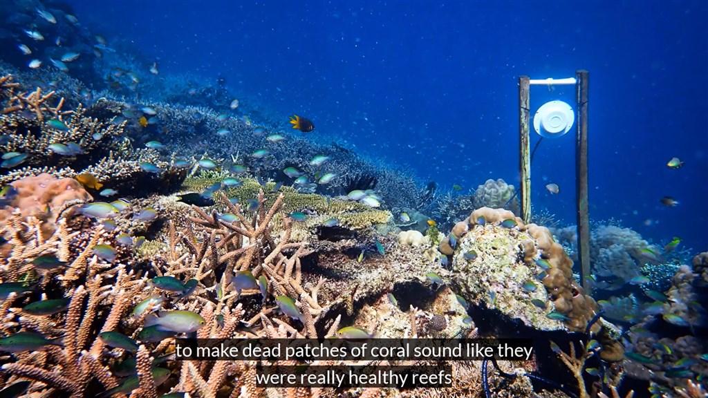 英國與澳洲研究團隊於11月29日提出一種策略,對著瀕死珊瑚礁播放健康珊瑚礁的聲音,他們認為這樣可以幫助復育珊瑚。(圖取自facebook.com/exeteruni)