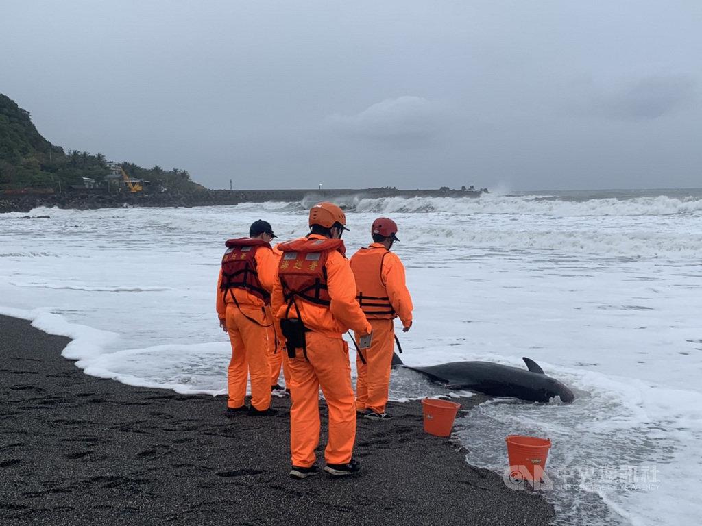 屏東縣牡丹鄉牡丹灣沙灘6日被發現有一隻侏儒抹香鯨擱淺死亡,海巡人員據報前往處置,並聯繫海洋生物保育組織到場協助,將侏儒抹香鯨交由獸醫帶回釐清死因。(海巡署提供)中央社記者程啟峰高雄傳真 108年12月6日