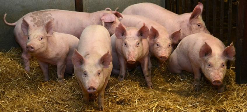 愛丁堡大學羅斯林研究所發表過可望抵抗非洲豬瘟的豬隻報告,科學家改編養殖豬基因,以類似於疣豬身上能夠挺過非洲豬瘟感染的相關基因。(圖取自羅斯林研究所網頁ed.ac.uk/roslin)