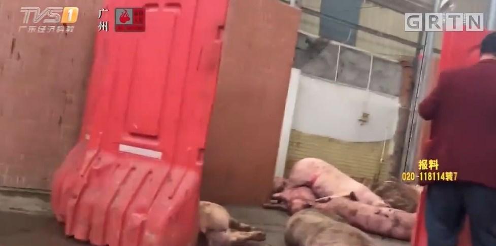 廣東電視台節目《今日一線》在歷時一個月暗訪後發現,一家省級認證的正規屠宰場為了牟利,竟然非法屠殺病死豬並流入市面販售。(圖取自今日一線微博網頁weibo.com)
