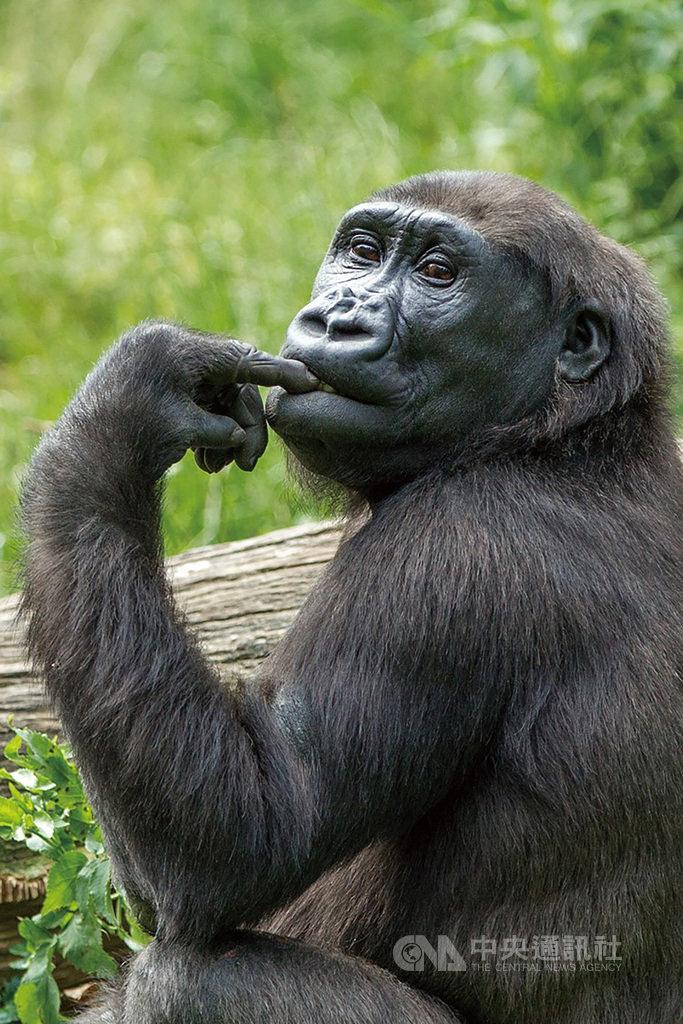荷蘭中部靈長類動物園雌性金剛猩猩Irlki(圖)來台,將與台北市立動物園的雄性金剛猩猩「迪亞哥」共組家庭,8日動物園還特別舉辦婚禮。(台北市動物園提供)中央社記者梁珮綺傳真 108年12月8日