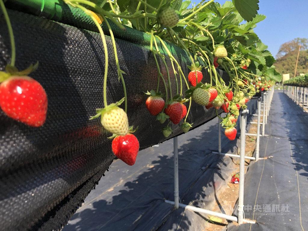 苗栗大湖鄉目前已進入草莓產季,大湖地區農會舉辦草莓文化季行銷活動,12日至15日為期4天,到大湖酒莊及配合活動的草莓園、餐飲商家消費,可享88折優惠。中央社記者管瑞平攝 108年12月12日