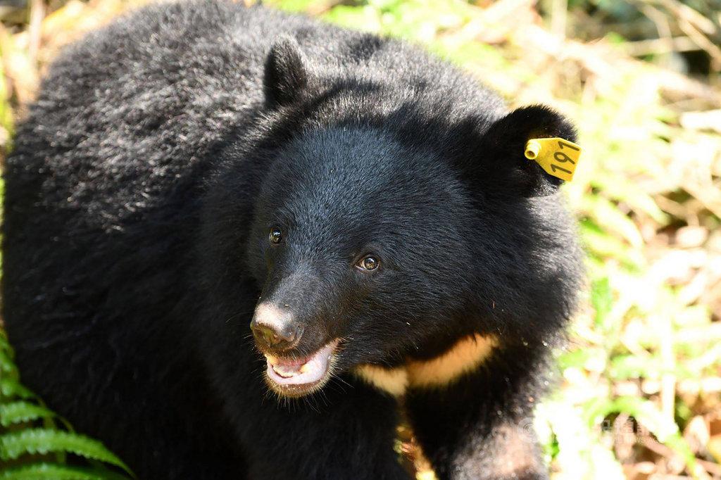 導演麥覺明跟隨學術研究團隊,耗時11年拍攝生態電影「黑熊來了」,南安小熊「妹仔」從照養到野放的過程也在片中呈現。(黑熊保育協會提供)中央社記者張祈花蓮傳真 108年12月13日