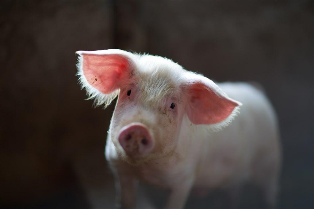 善待動物組織上月向德國聯邦憲法法院提出訴訟,要求政府禁止農民在未施予麻醉的情況下為小公豬去勢。(示意圖/圖取自Unsplash圖庫)