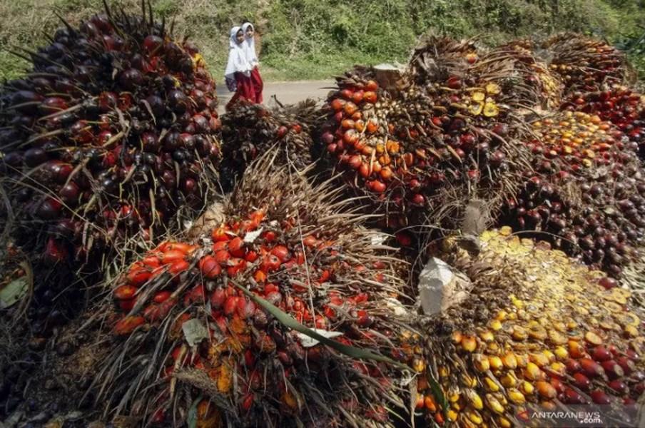 棕櫚油是全球最廣泛使用的植物油,從食物到化妝品等多種產品都以棕櫚油為重要原料。圖為棕櫚果。(安塔拉通訊社提供)