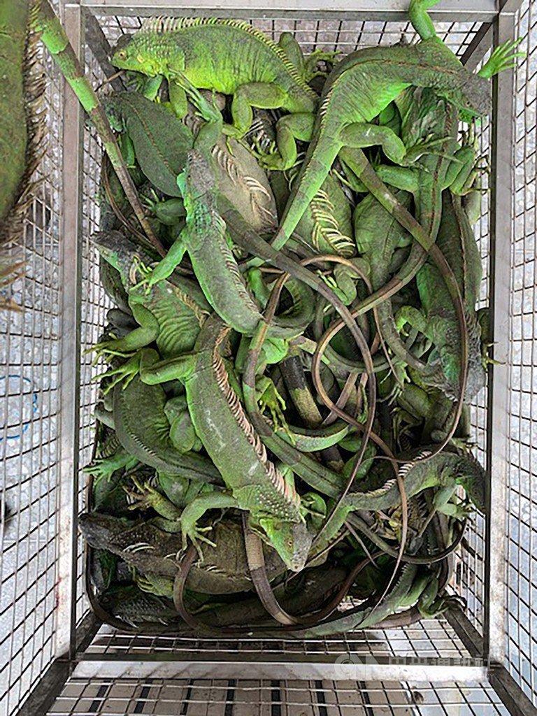 為了抑制綠鬣蜥野外族群持續擴散,屏東縣政府辦理綠鬣蜥換老鷹紅豆活動,今年共捕捉到4000多隻的綠鬣蜥,縣政府表示,明年將持續辦理這項活動。(屏東縣政府提供)中央社記者郭芷瑄傳真 108年12月31日