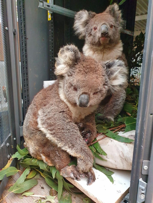 澳洲野火肆虐,擴散至袋鼠島保護區,救難單位5日表示,島上無尾熊恐怕有半數死亡,還有許多重傷。(圖取自facebook.com/kiwildlifepark)