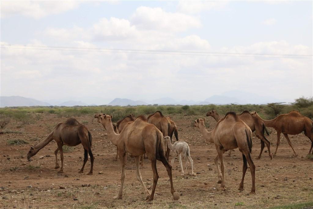 澳洲有大批野生駱駝在偏郊城鎮尋找水源,威脅到原住民聚落。澳洲政府以直升機載運槍手射殺超過5000頭駱駝。(示意圖/圖取自Unsplash圖庫)