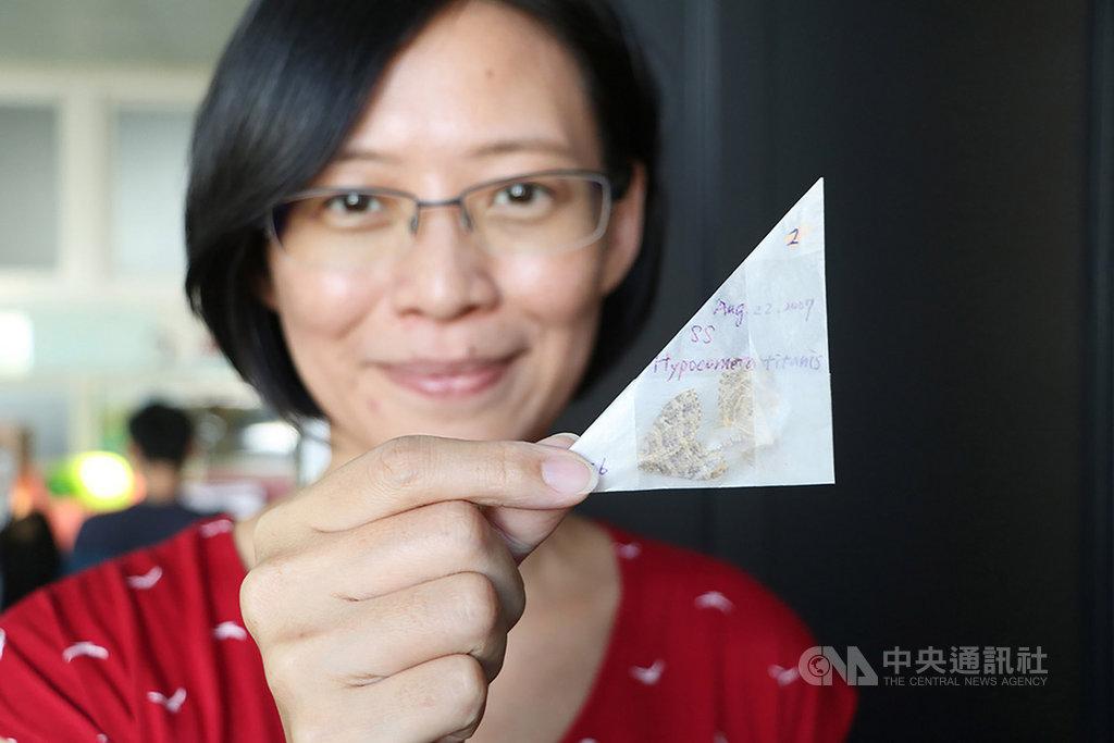 成功大學跨國研究團隊比對馬來西亞神山逾8000隻尺蛾,發現42年間當地氣溫升高攝氏0.7度,尺蛾平均體型卻縮小1.3%。圖為成大生命科學系副教授陳一菁展示2007年在神山採集的尺蛾。(成功大學提供)中央社記者張榮祥台南傳真 109年1月16日