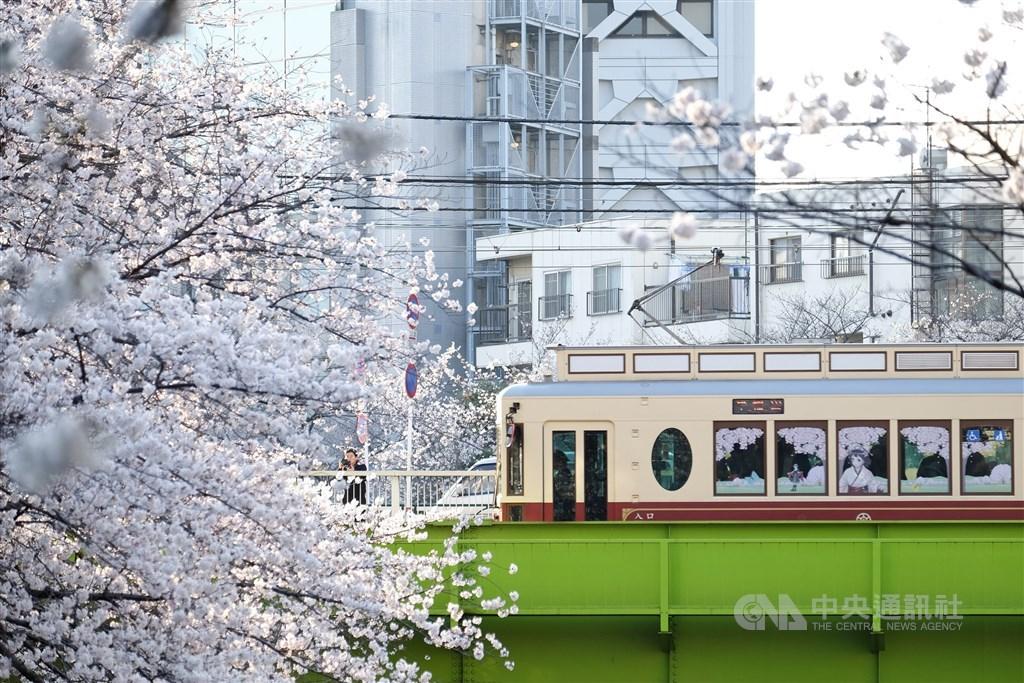 日本揪「假觀光客」,有人秋天到當地卻說要賞櫻,可能被拒絕入境。圖為東京都電荒川線「電車配櫻花」美景。(中央社檔案照片)