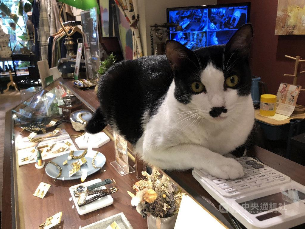 米克斯貓咪「查理」本來是流浪貓,透過網路被主人認養後,身世大轉變,住在主人的選物店中,成為鎮店招財貓。中央社記者趙麗妍攝 109年1月25日