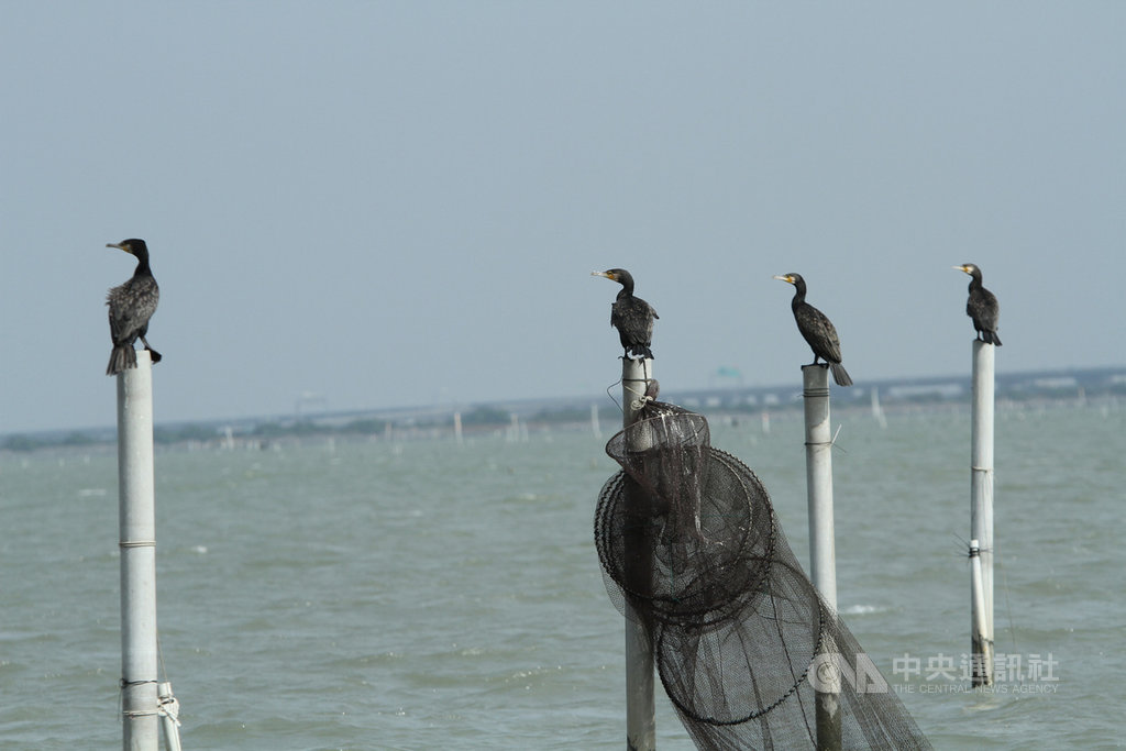 每年秋冬季節會有大批冬候鳥到台南沿海的各棲地度冬,賞鸕鶿的最佳地點就是七股潟湖。潟湖中的蚵架、航道指標柱子頂端,都是鸕鶿休息的好地方,坐在船上就可近距離看到這些鳥的模樣。中央社記者楊思瑞攝  109年1月29日