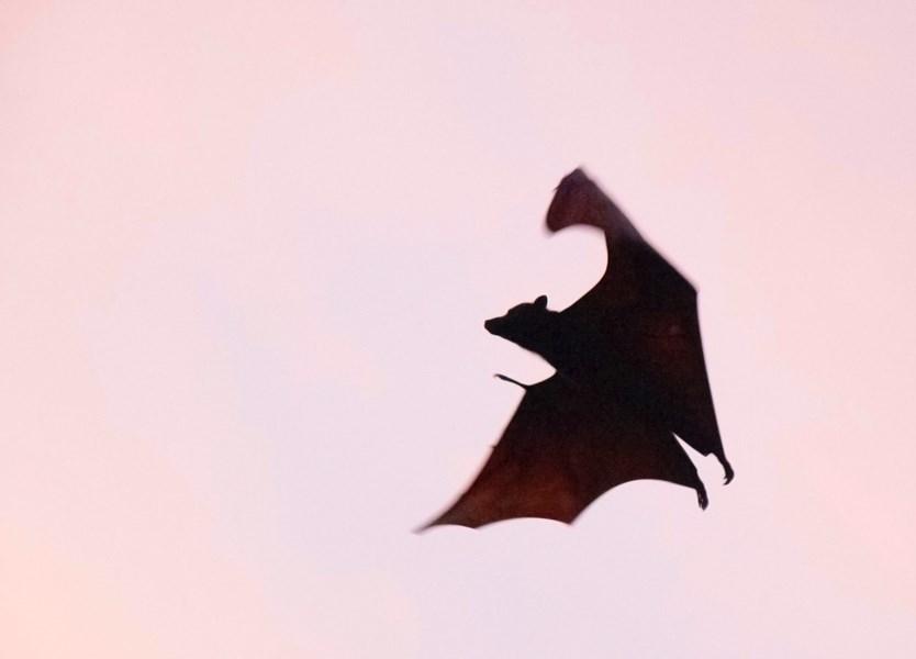 新華社報導,中國科學院武漢病毒研究所最新研究表明,新型冠狀病毒可能來源於蝙蝠(圖)。(圖取自Unsplash圖庫)
