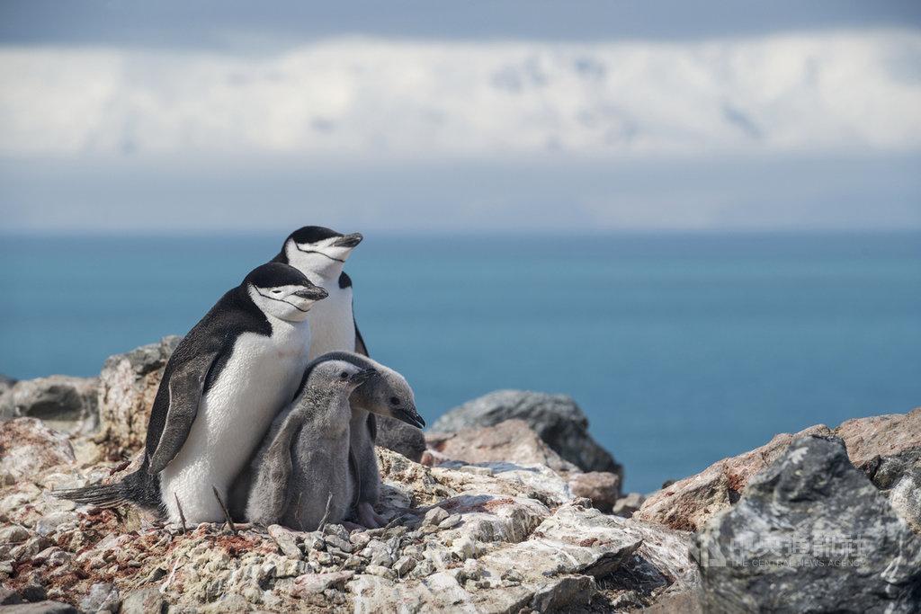 綠色和平12日發布新聞稿表示,綠色和平極地曙光號與希望號剛完成為期6週南極調查工作,南極半島東北部的象島(Elephant Island)是企鵝重要棲地,調查發現島上企鵝族群數量平均減少60%;而頰帶企鵝(Chinstrap Penguin)族群在過去50年間銳減,減少高達77%,呼籲台灣政府及企業應加速減碳行動。(綠色和平提供)中央社記者張雄風傳真  109年2月12日