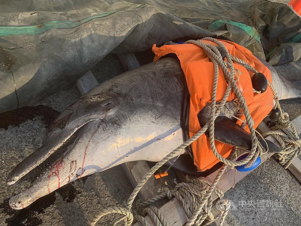 台中市大安區海堤13日發現一隻死亡鯨豚,經中華鯨豚協會查看研判為瓶鼻海豚,身上多處血痕,死因無法確認,將送台北市立動物園進一步檢查。(海巡署提供)中央社記者趙麗妍傳真 109年2月13日